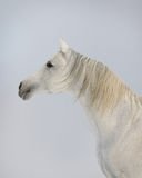 White arab horse. Against the winter skies Royalty Free Stock Photos