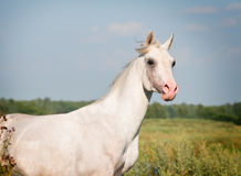 White arab horse. In summer field Royalty Free Stock Images