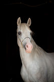 White arab. Horse on a black Royalty Free Stock Images