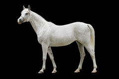 White arab horse isolated. On black Stock Photo