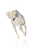White arab horse isolated. Over a white Royalty Free Stock Photo