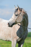 White arab horse portrait. The white arab horse portrait Stock Photo