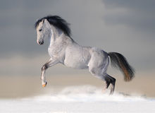White arab horse in winter. White arab horse in the winter Stock Photo