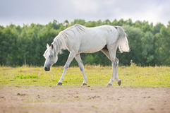 White arab in pasture Royalty Free Stock Image