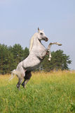 White arab stallion Royalty Free Stock Photos