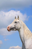 White arab stallion. On sky Stock Images