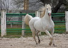 White Arab stallion. Stock Photos