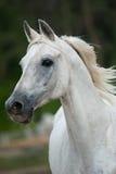 White arab stallion portrait. In movement stock photography