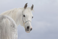 White arabian Royalty Free Stock Images