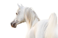 White arabian. Over a white Stock Photography