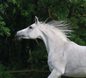 White arabian horse Royalty Free Stock Image