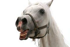 White Arabian horse. Arabian horse portrait stock photos