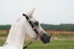 White Arabian horse. Arabian horse portrait royalty free stock image