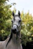 White Arabian horse. Arabian horse portrait stock image