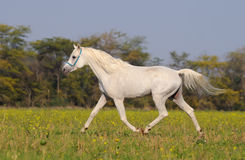 White arabian horse Stock Photos