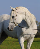 White arabian horse Stock Images