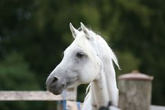 White Arabian horse. Portrait in pasture Stock Image