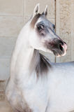White arabian horse. Portrait near the wall Royalty Free Stock Photography