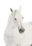 White arabian horse Stock Image