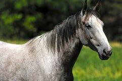 White Arabian horse. Portrait of a white horse Royalty Free Stock Photo