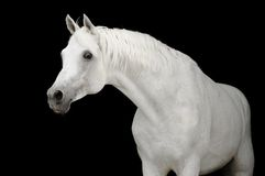 White arabian horse on black backgroud. White arabian horse stallion portrait isolated on black Stock Images