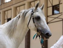 Arabian Horse. Portrait of gray stallion in a stable Stock Photos