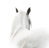 White arabian horse Royalty Free Stock Photography