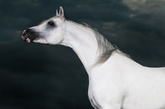 White arabian horse on the dark background Royalty Free Stock Photos