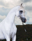 White arabian horse on the dark background Royalty Free Stock Photography