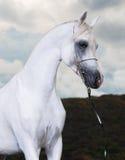 White arabian horse on the dark background Royalty Free Stock Photography