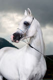 White arabian horse on the dark background Stock Photos