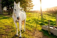 White Arabian Horse in Early Morning Sun. Stock Photo