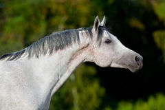 White Arabian horse in field Royalty Free Stock Images