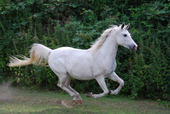 White arabian horse gallopping Royalty Free Stock Photography