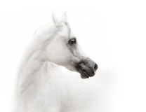 White arabian horse. In high key Royalty Free Stock Images