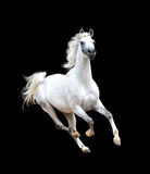 White arabian horse isolated on black background Royalty Free Stock Image
