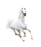 White arabian horse isolated on white Royalty Free Stock Photography