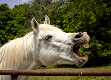 White Arabian horse laughing with teeth exposed royalty free stock photo