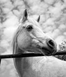 White Arabian horse looking right in black and white Stock Images