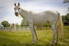 White Arabian horse looking up from grazing Stock Photo