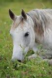 White arabian horse on the meadow. White arabian horse laying on the meadow Royalty Free Stock Image