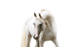 White arabian horse portrait on white background. The white arabian horse portrait on white background in high key Royalty Free Stock Images