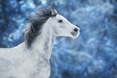 White arabian horse. Run fast on winter landscape royalty free stock image