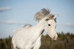 White arabian horse running Stock Photos