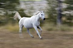 White Arabian horse running Stock Images