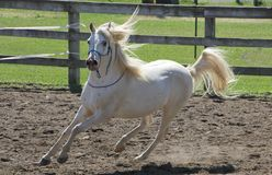 White Arabian horse running at liberty outdoors stock photography