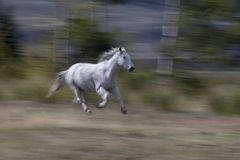 White Arabian horse running Stock Image