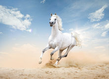 White arabian horse runs free in desert Royalty Free Stock Photo