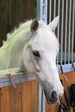 White arabian horse in stable Royalty Free Stock Images