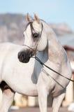 White arabian horse stallion portrait. In summer Stock Photography